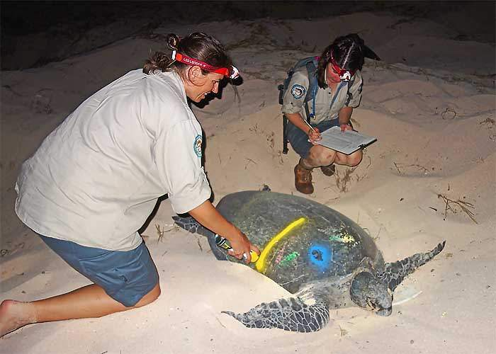 Marking turtles to look at nesting rates