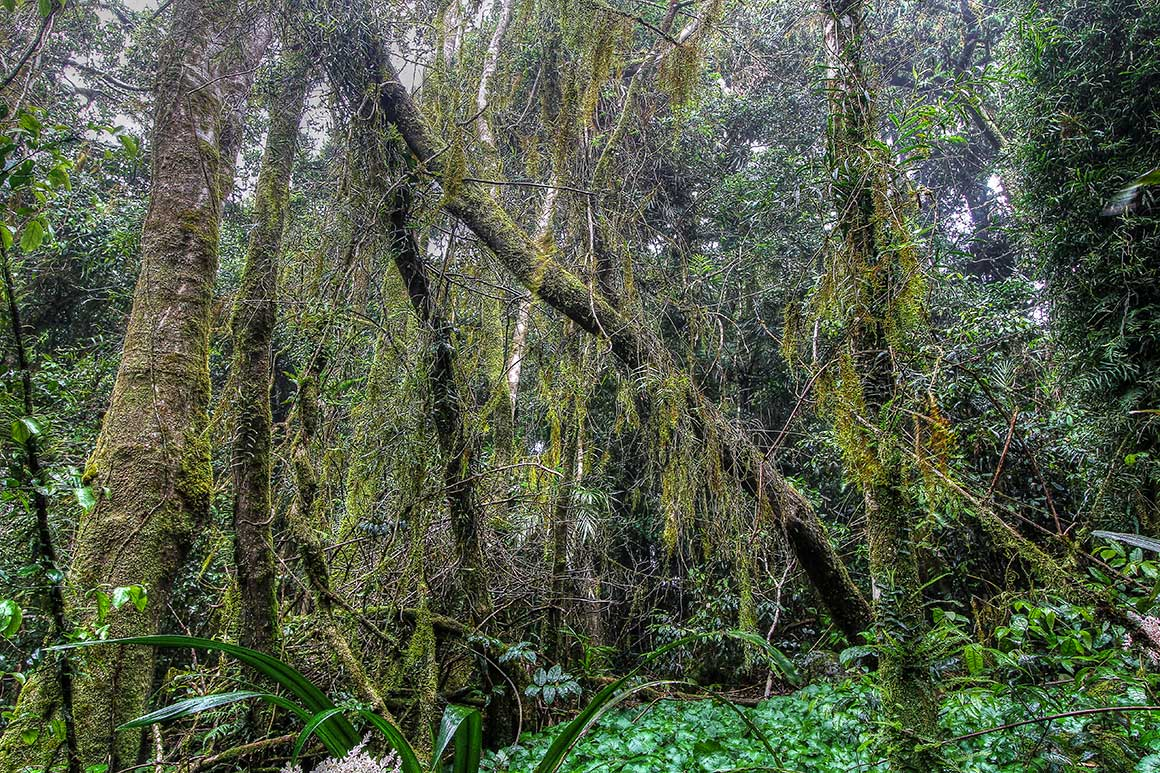 Tall trunks of Antarctic beech trees are draped with moss, making them appear mysterious and ancient.