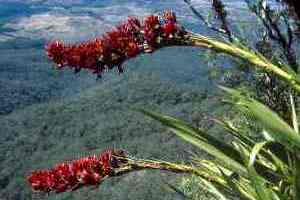 Giant spear lily (Doryanthes palmeri) Photo: Queensland Government.