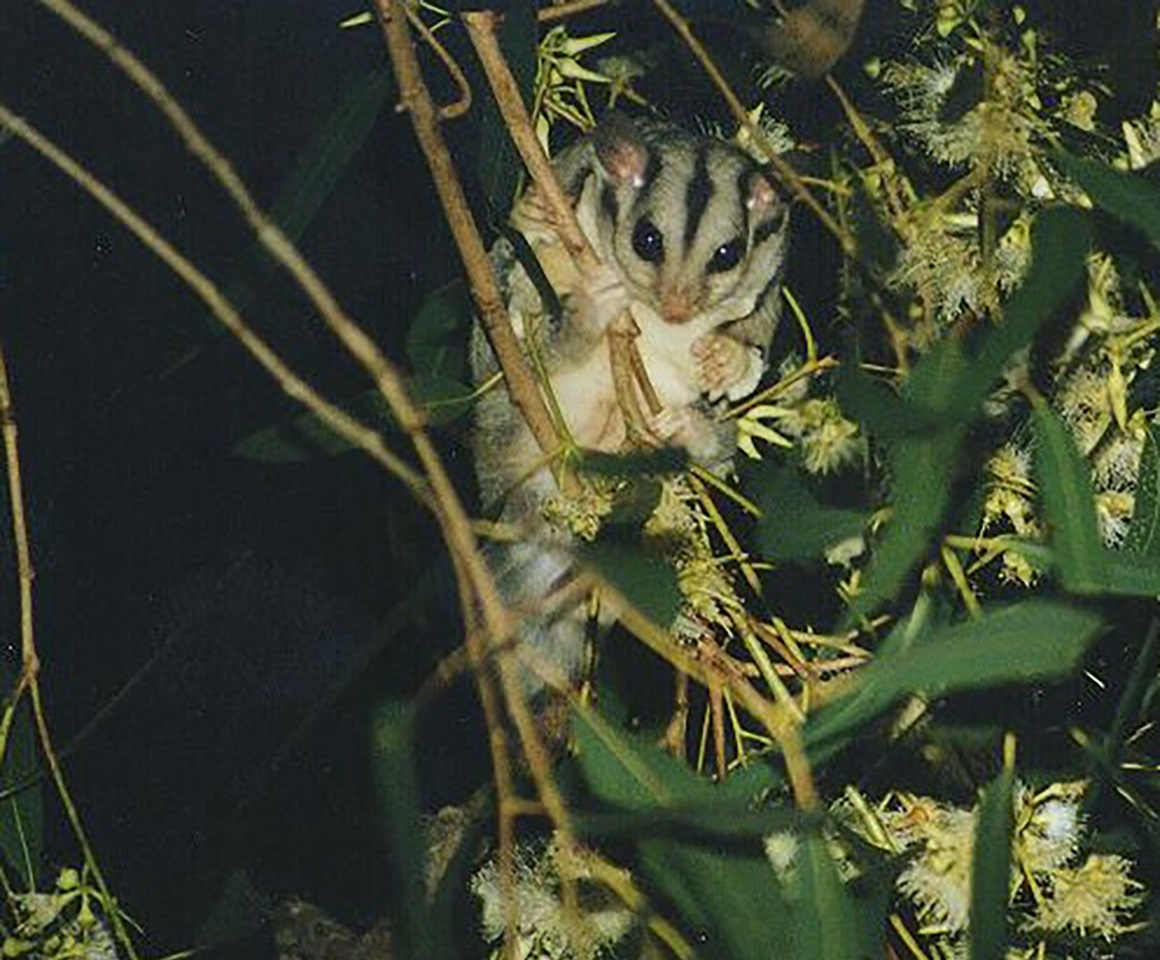 Close-up of a sugar glider with large dark eyes and distinctive dark stripes on its head, sitting on a branch amongst eucalypt blossoms, against a dark background.