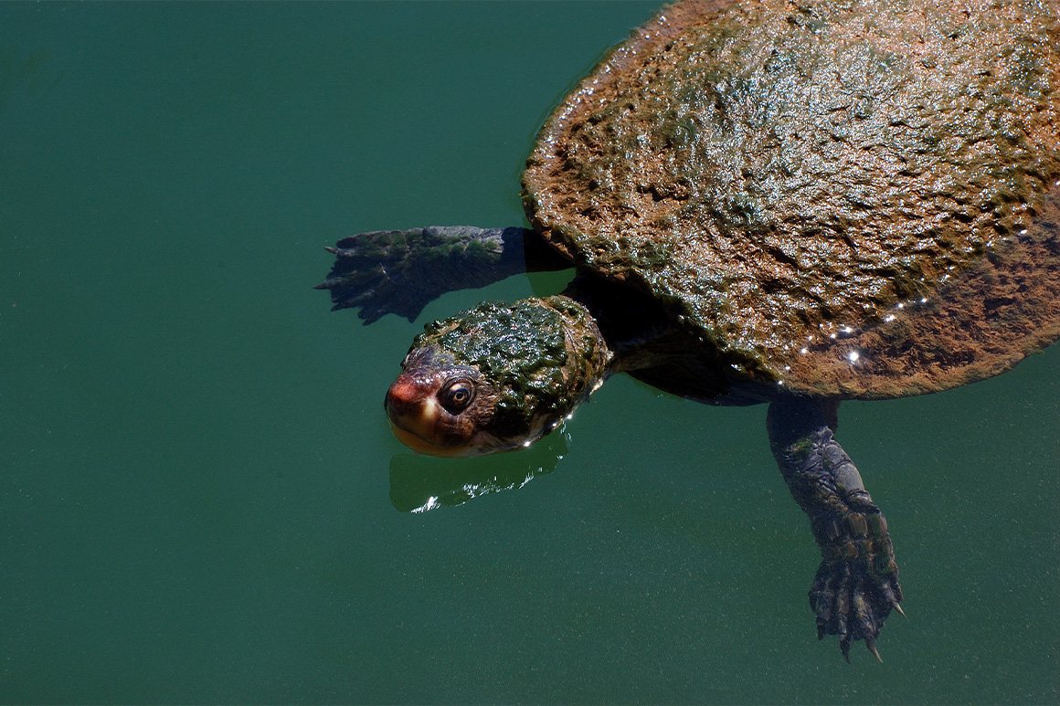 Head and carapace of a large freshwater water turtle are covered in green algae.