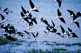 Black-winged stilts. Photo: Queensland Government.
