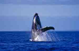 Humpback whale breaching. Photo: Queensland Government
