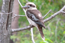 Laughing kookaburras are often seen perched high in trees overlooking the creek.