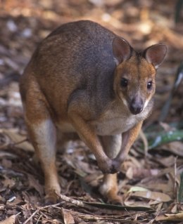 Red-legged pademelon. Photo courtesy of Gary Cranitch, Queensland Museum.
