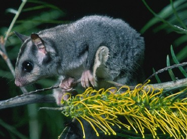 Spotlight for sugar gliders at night. Photo: Queensland Government.