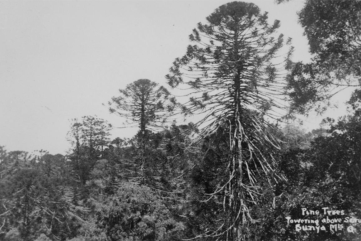 Old black and white image of three distinctive bunya pines emerging above forest canopy.