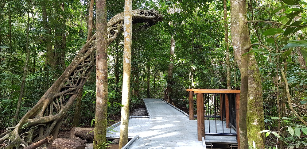 Alt text< a low boardwalk extends beneath the lacy woven roots of a strangler fig leaning out from the surrounding forest.