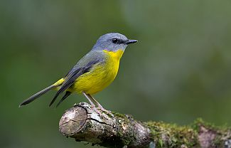 Hear many of the ancient songbirds of the park, such as the eastern yellow robin. Photo: Trevor Andersen.