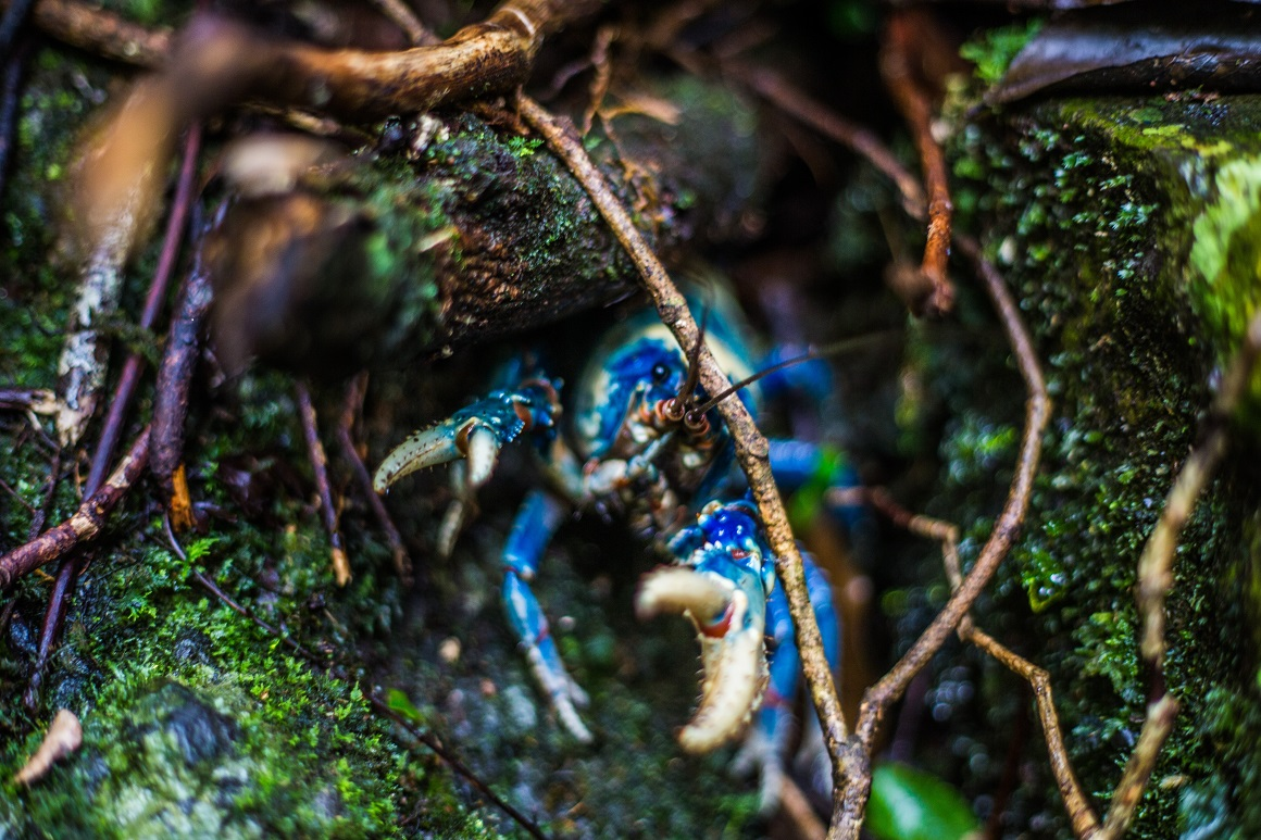 A bright blue crayfish displays large claws from underneath a mossy tree root.