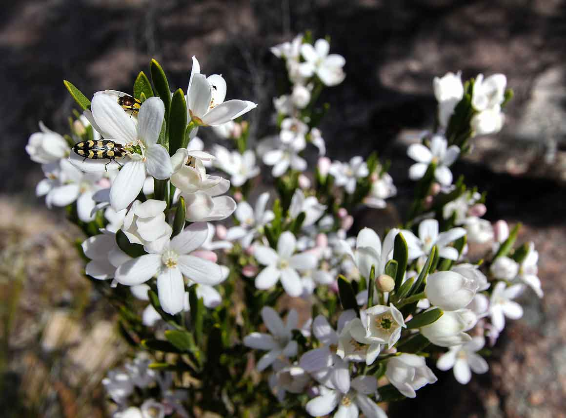 Close up of pretty white wildflowers with insects collecting nectar.