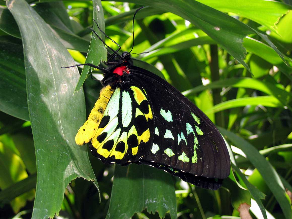 Cairns birdwing butterfly showing dappled patterns of black, yellow, green and blue on wings, with red body