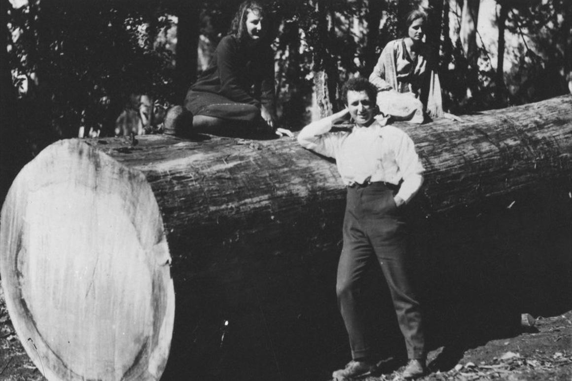 Three people pose on a huge sawn log of a bunya pine.