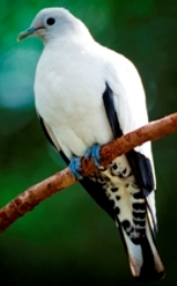 Pied imperial-pigeons may be seen and heard in the forest canopy. Photo: Queensland Government.