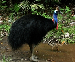 Cassowaries may be encountered in the park.