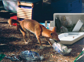 Dingoes can open iceboxes, so always lock food away.