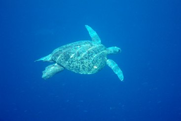 Green turtles are seen on and around Hinchinbrook Island. Photo: Queensland Government.