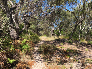Look for bristled banksias on the Dux's Hut walk. Photo: Cheryn Kelly © Queensland Government