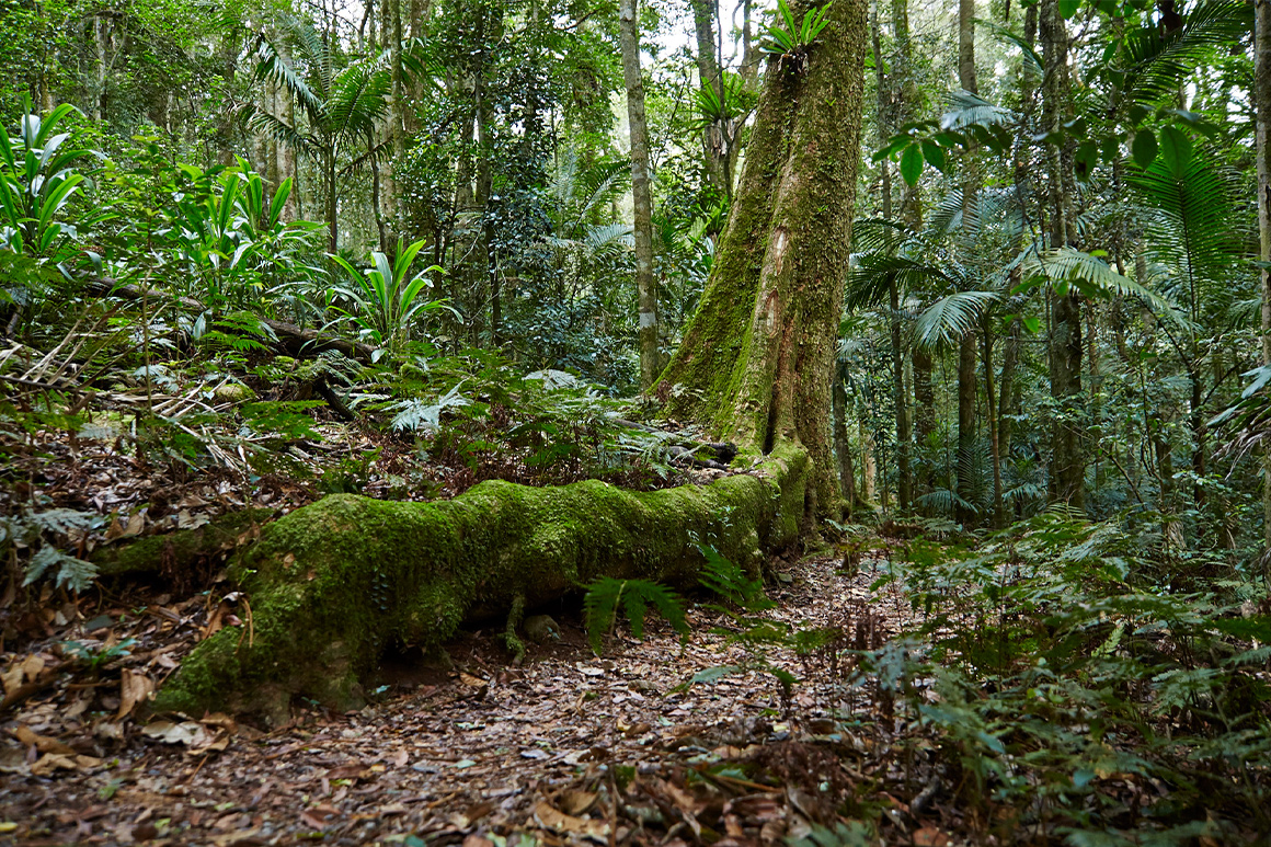 A leaf-covered rainforest walking track fringed by moss-clad tree roots and ferns.