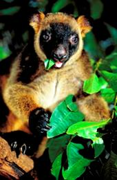 Lumholtz's tree-kangaroos live in the Tully Falls rainforest. Photo: Queensland Government.