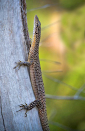 The freckled monitor Varanus tristis is one of many reptiles found in Isla Gorge National Park. Photo courtesy of Robert Ashdown
