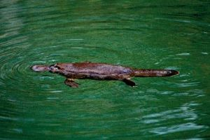 Image of a platypus which live in Stony Creek, Queensland. Look for them in the early morning or at dusk.