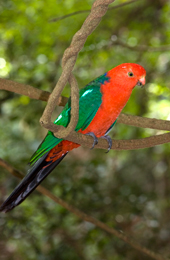 Please do not feed the king parrots or other birds which may visit your picnic or camp. Photo Bruce Thomson