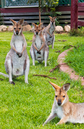 Red necked wallabies graze open areas within the forest and around picnic areas. Photo: Robert Ashdown, Queensland Government