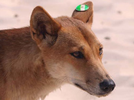 Tags assist in identifying dingoes, and usually feature three colours. This dingo (green/white/green) is a male, because the tag is in the left ear. Photo: Queensland Government