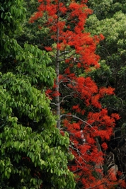 Spectacularly flowering flame tree in the rainforest.