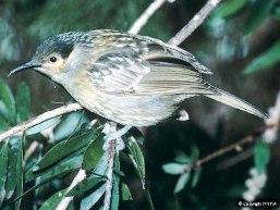 See Macleay's Honeyeaters at Alligators Nest day-use area. Photo © Wet Tropics Management Authority.