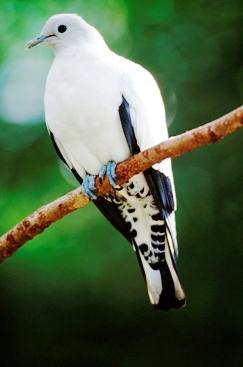 Pied imperial pigeons arrive in large numbers around August. Photo: Queensland Government.
