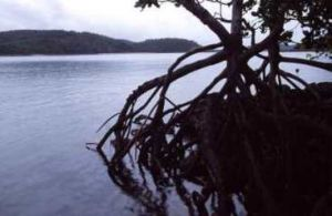 Mangroves in Newry Islands National Park. Photo: Queensland Government