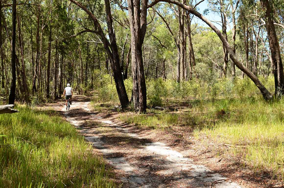 A man on a mountainbike cycles along a dirt track through open forest with grassy understorey.