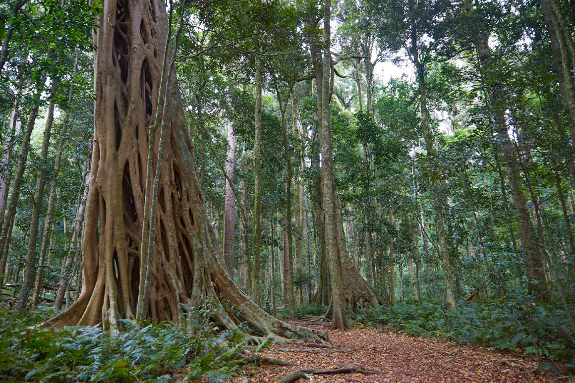 A walking track fringed by low ferns and tall fig trees.