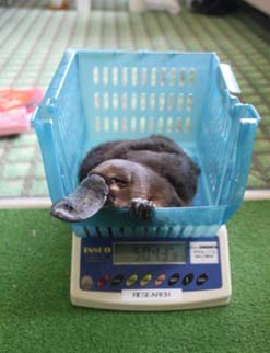 Wally the platpus being weighed in a basket on a scale.