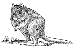 Rufous bettongs are small wallaby-like marsupials that are active within the forest at night. Illustration Queensland Government