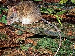 Masked white-tailed rat.
