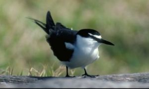 Bridled tern. Photo: M. Simmons. Copyright Commonwealth of Australia (GBRMPA).