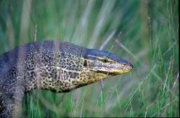 Yellow-spotted monitor—after which the national park was named. Photo: Bruce Thompson, Queensland Government