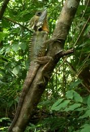 Boyd's forest dragon. Photo: Darren Green.