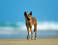 Dingoes are wild and unpredictable animals. They roam all over K'gari. Stay alert and be dingo-safe. Photo: Queensland Government