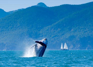 Photo of humpback whales put on a show in winter. Photo: J Heitman.