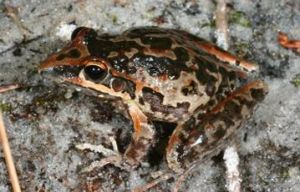 Wallum rocketfrogs, Litoria freycineti, are adapted to the mildly acidic wallum wetlands of Cooloola.