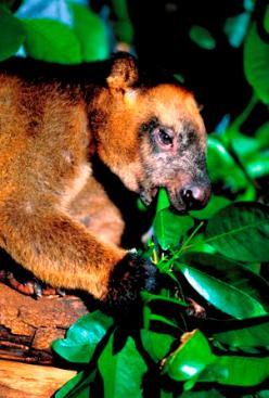 Lumholtz's tree-kangaroo. Photo: Queensland Government.