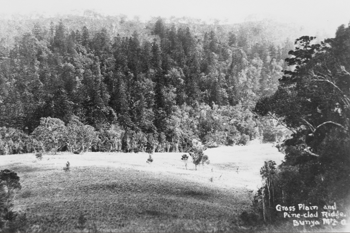 An old black and white image of a grassy area with a background of a bunya pine tree covered ridge.
