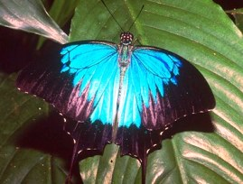 Ulysses butterflies add a splash of colour to the rainforest.