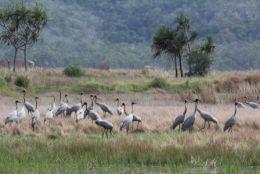Brolgas feeding near Long Swamp, Pandanus viewing area.