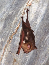Diadem leaf-nosed bat