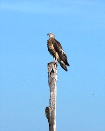 Image of an osprey - they can be seen soaring effortlessly above the island.